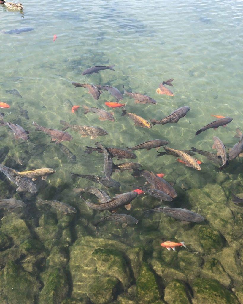 Image of Koi Fish in Big Spring Park Huntsville.